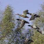 animaux-vol de canards
